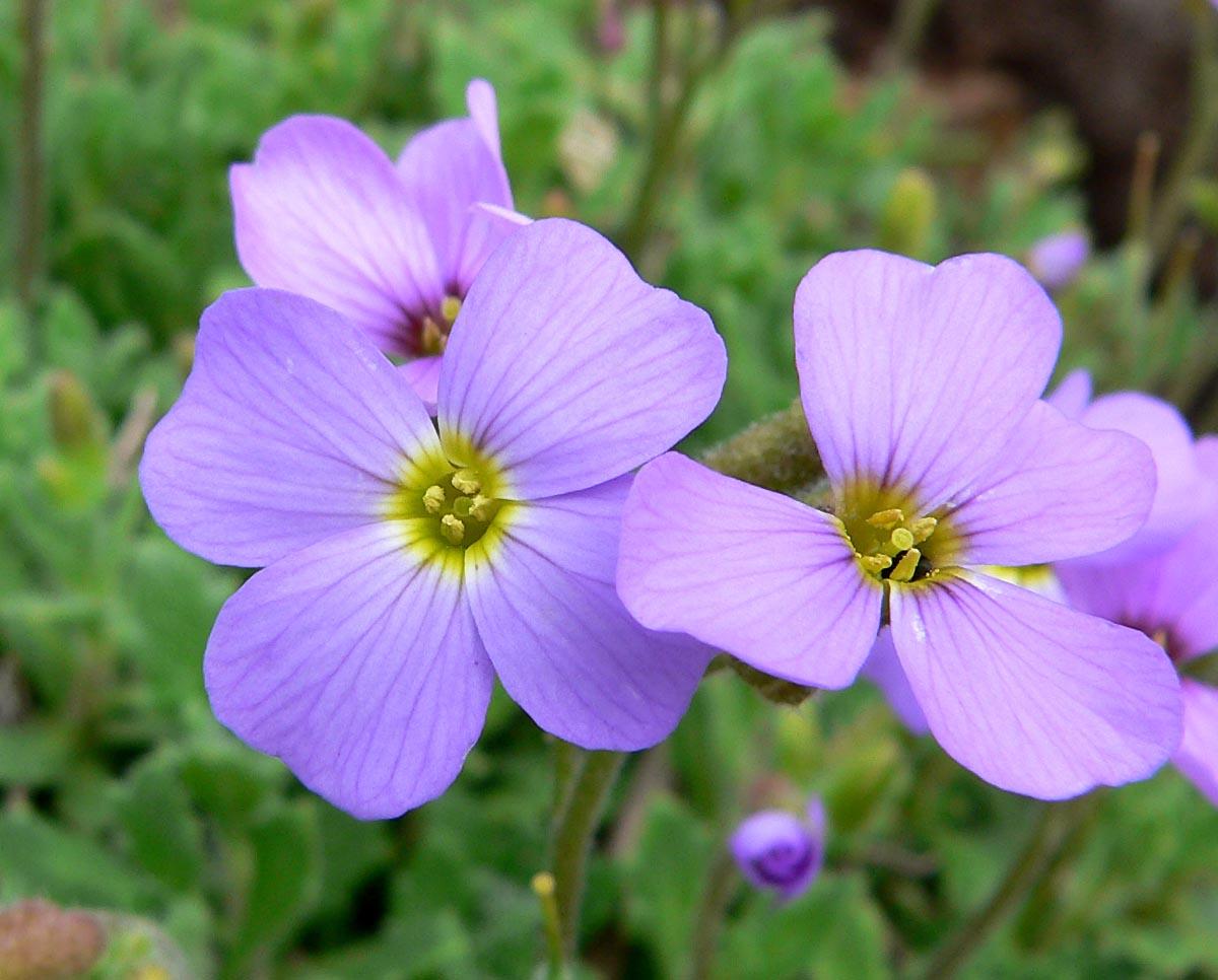 Обриета фиолетовая