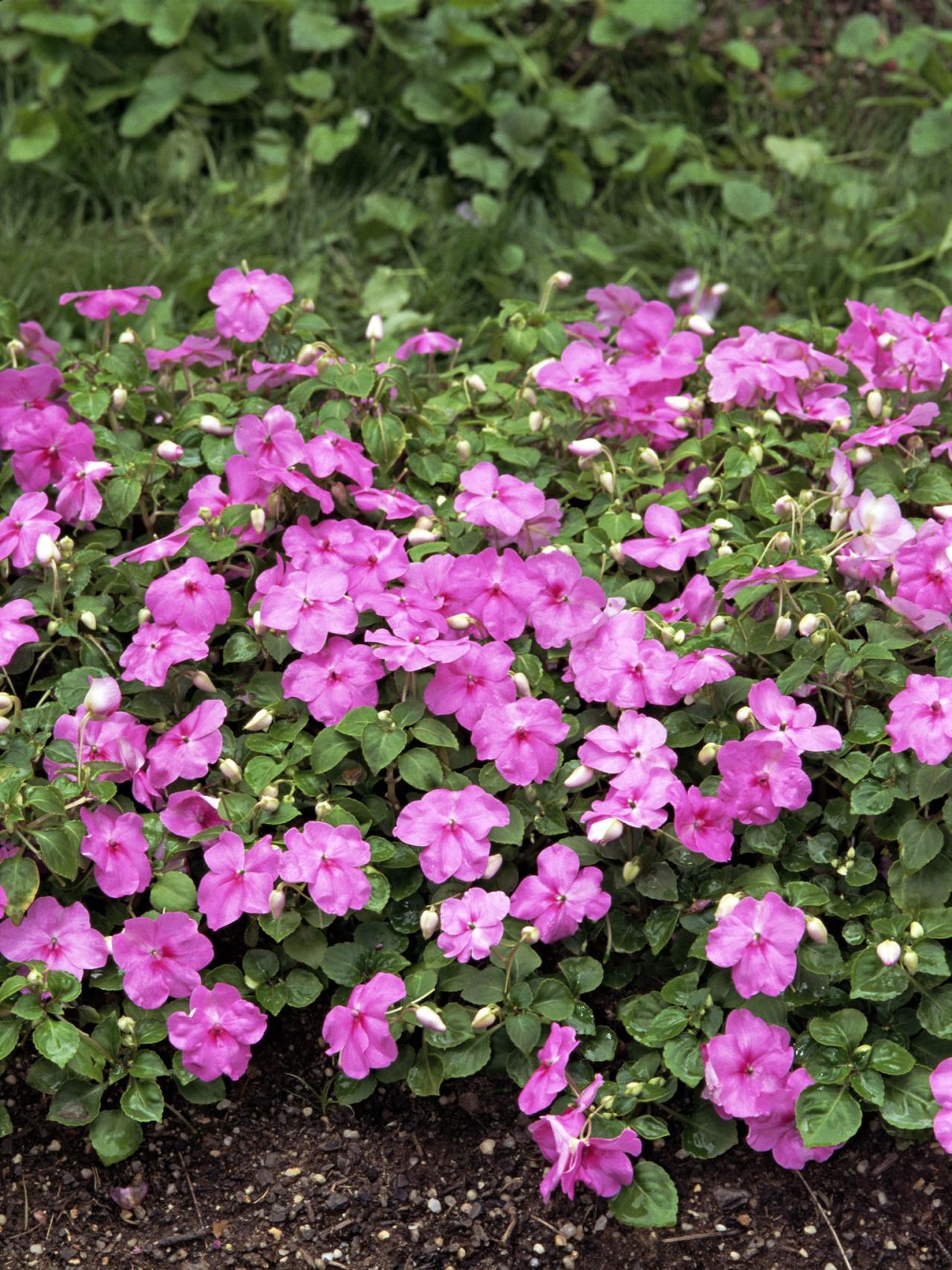 Бальзамин садовый фиолетовый