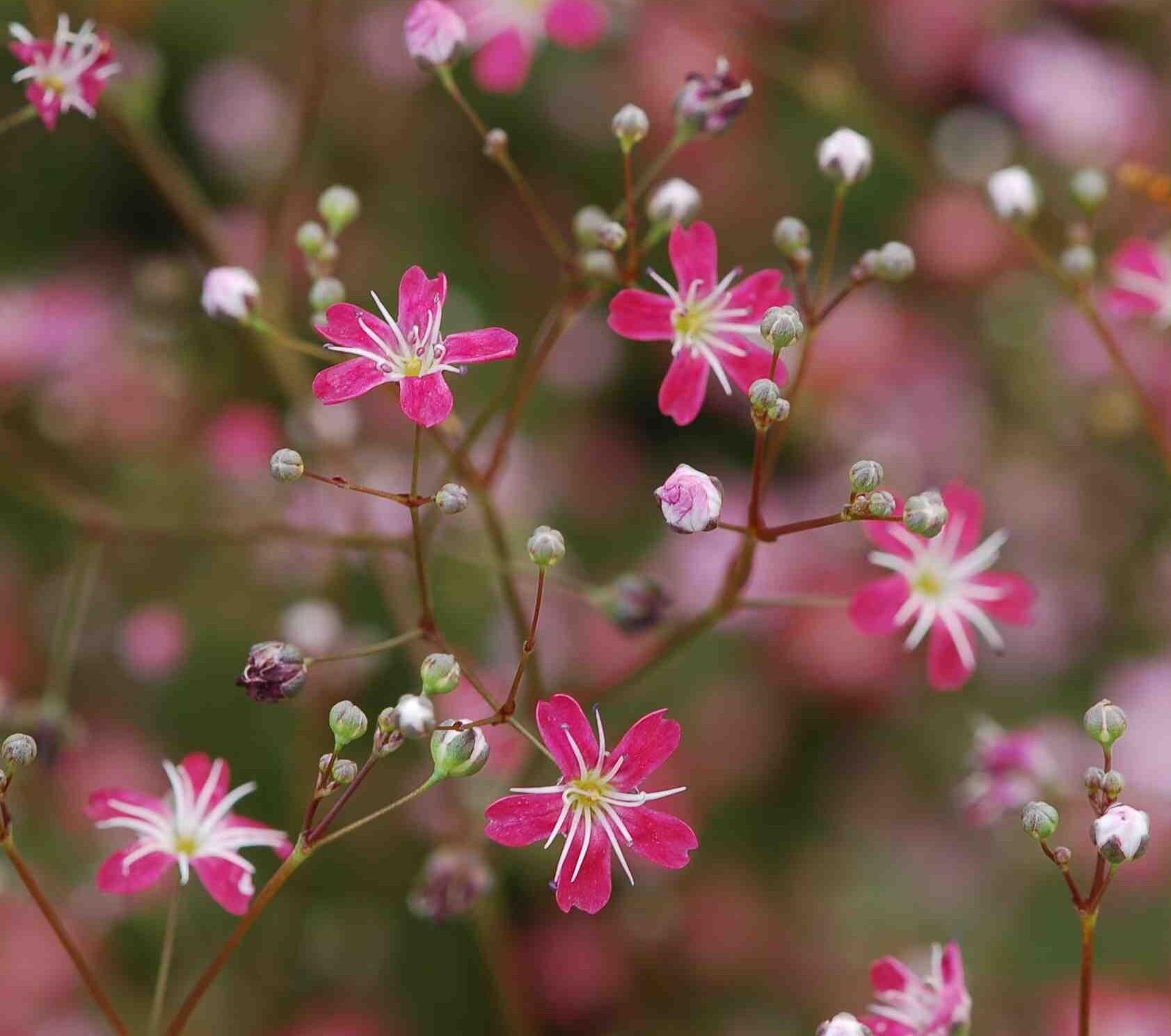 Гипсофила многолетний цветок для дачи