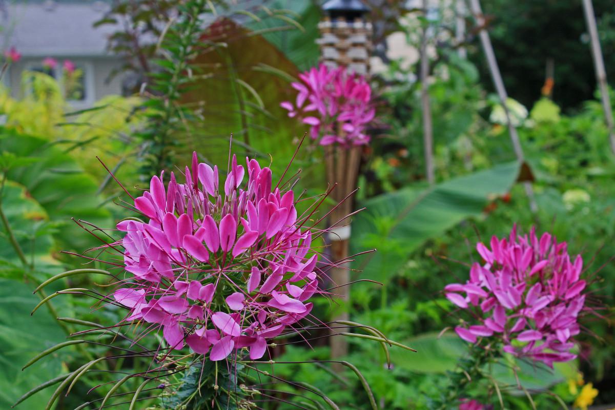 Цветок клеома на приусадебном участке: фейерверк цвета в саду (21 фото)