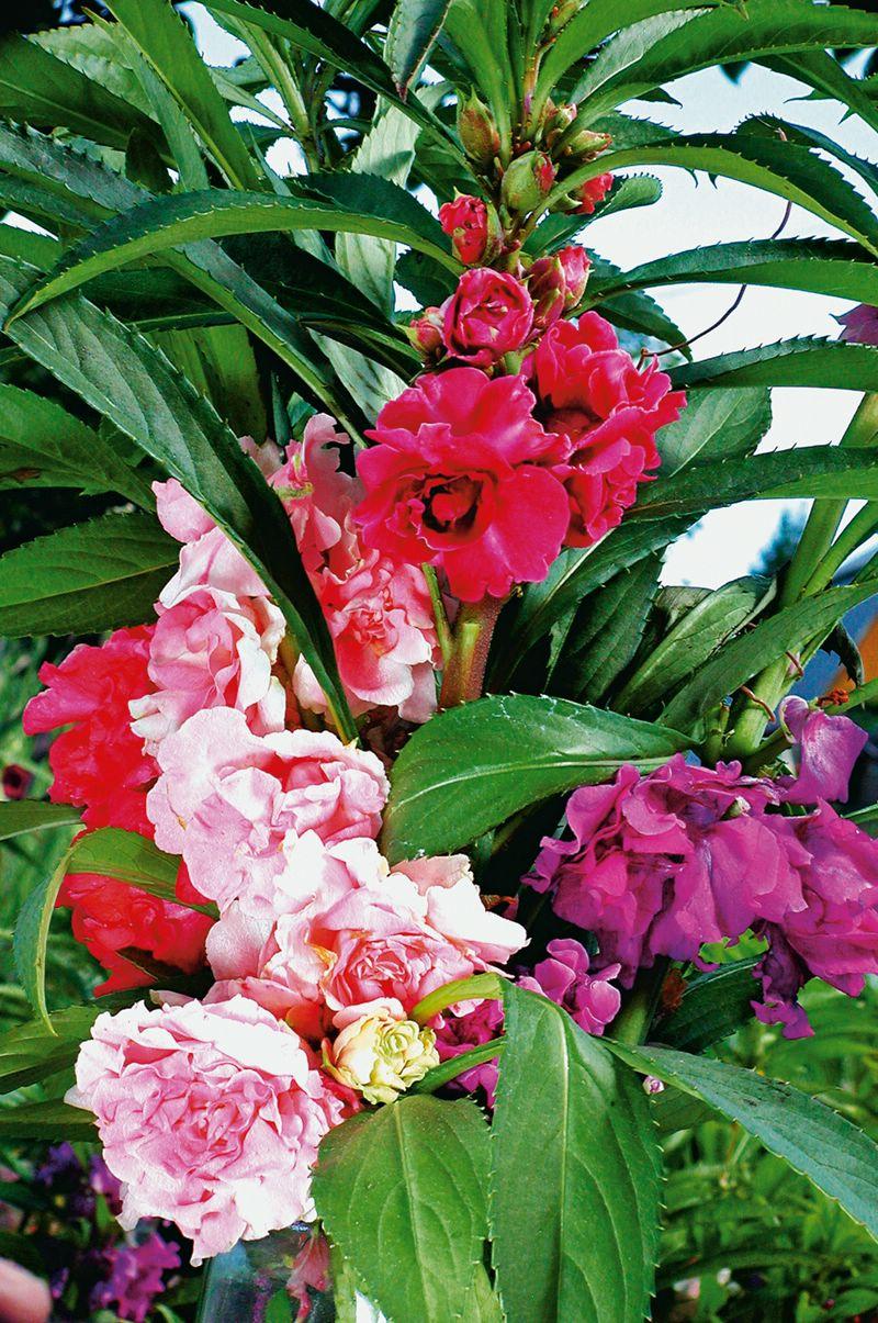Бальзамин садовый КамелияБальзамин садовый Камелия