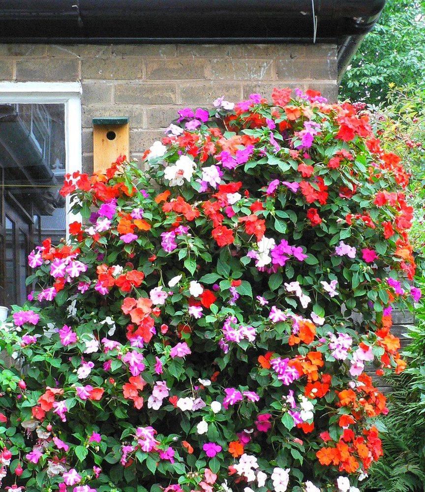 Бальзамин садовый мелкоцветковый
