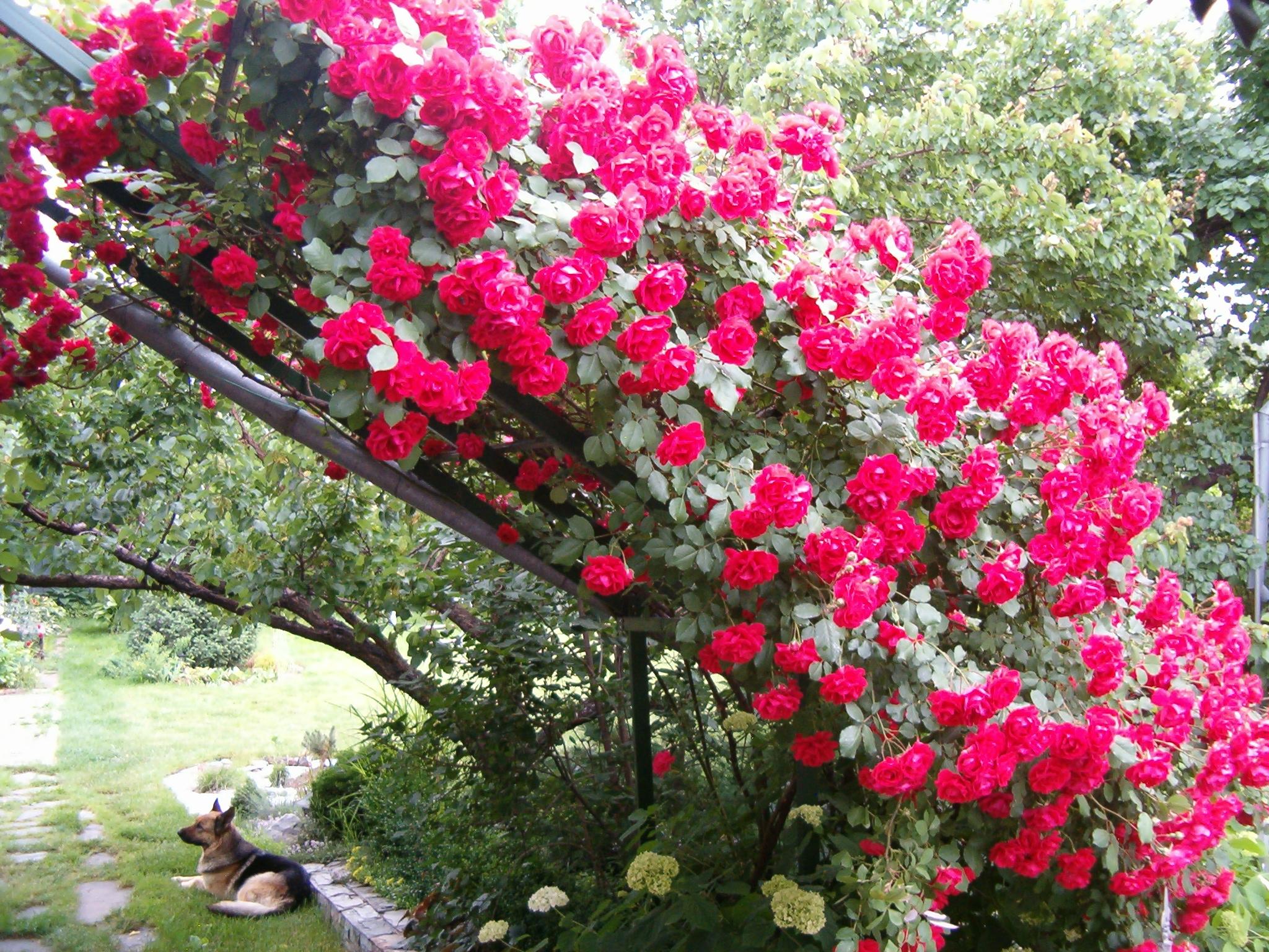 Плетистая роза многолетняя для дачи