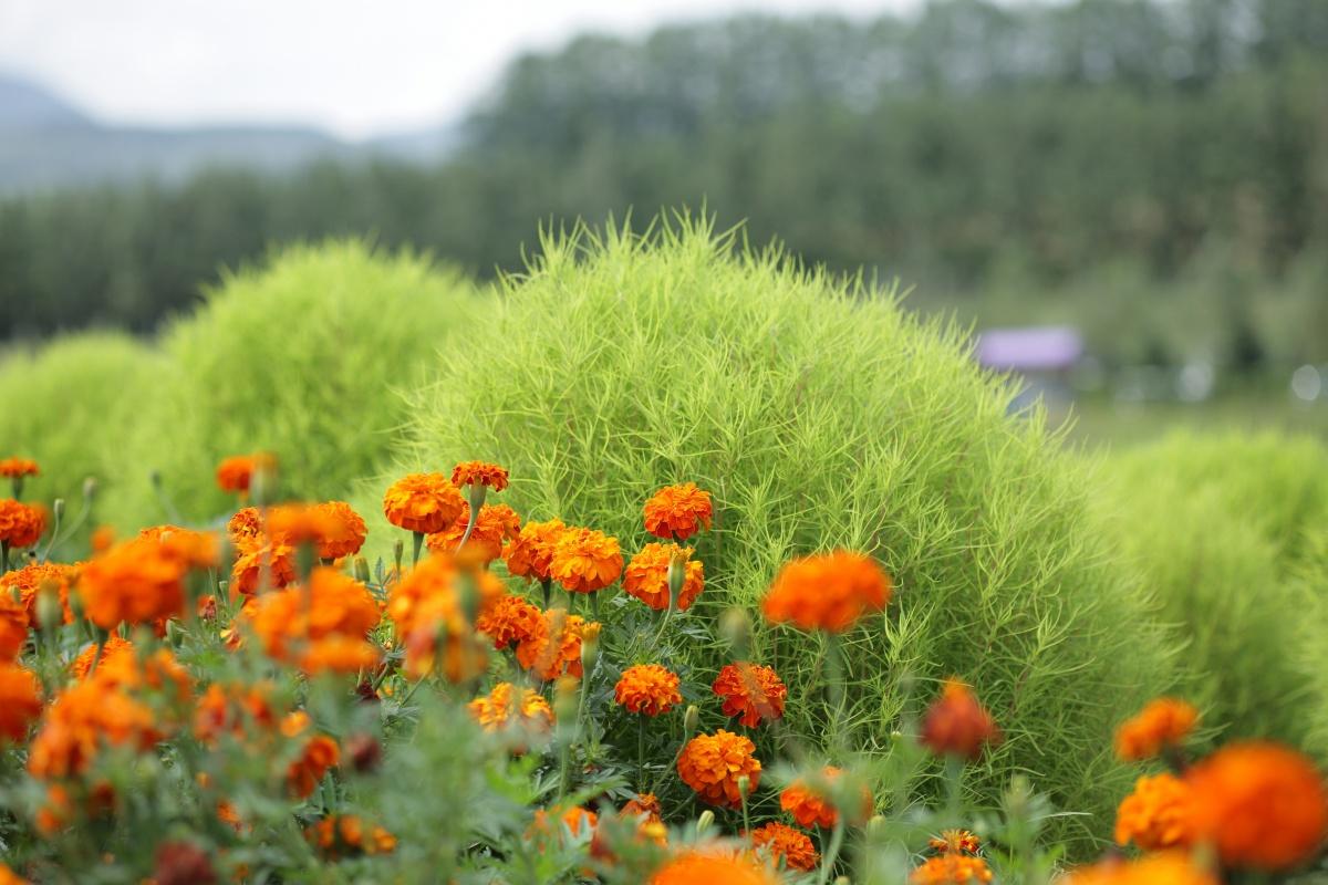 Кохия: как выращивать и ухаживать (21 фото)