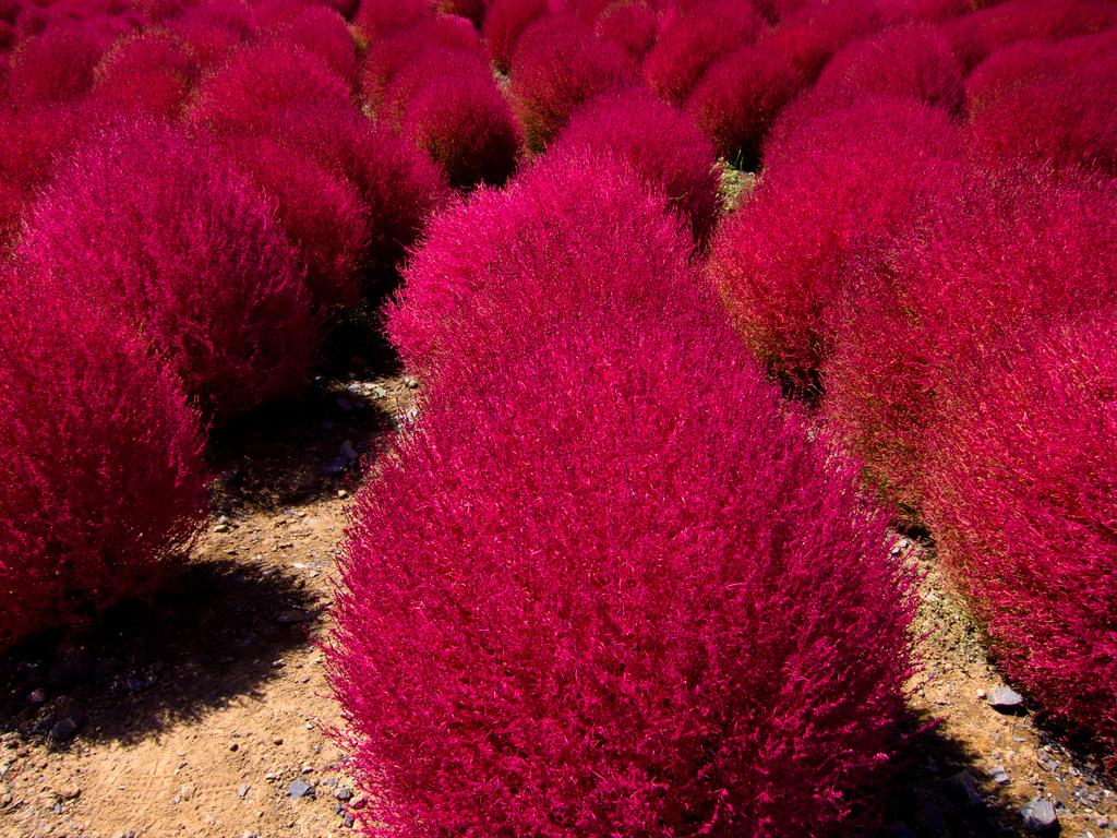 Пурпурная кохия