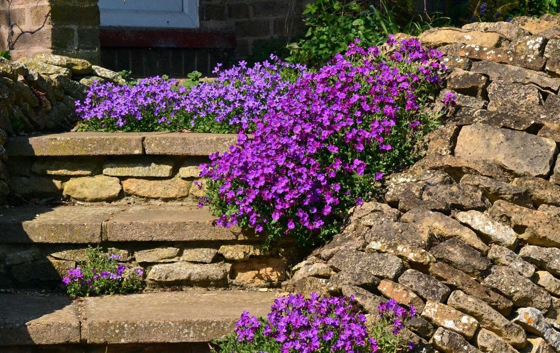 Обриета – украшение любого сада (23 фото)