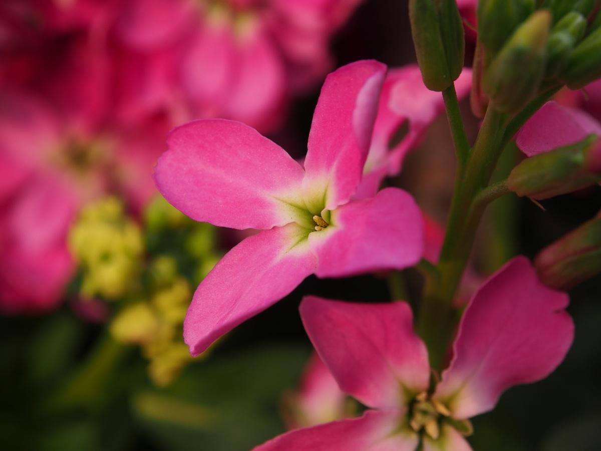 Розовая маттиола