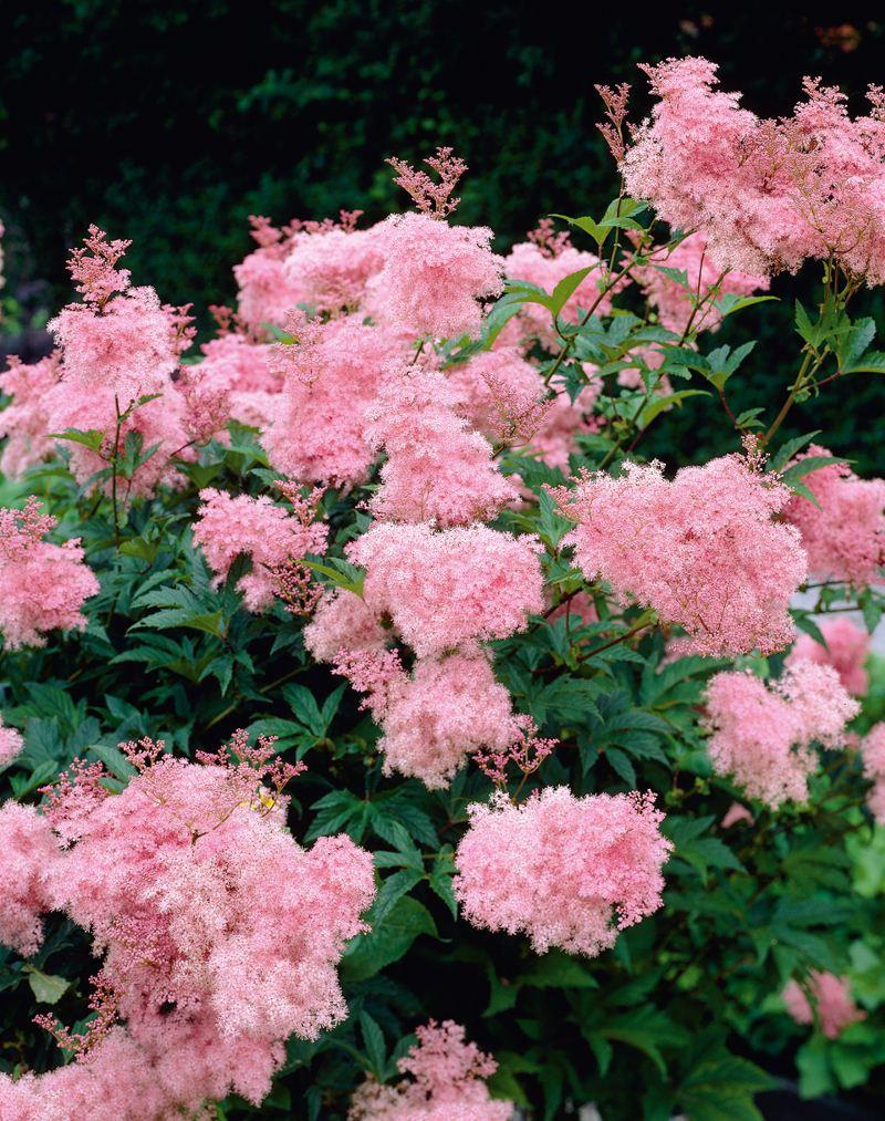 Розовый лабазник многолетний для дачи