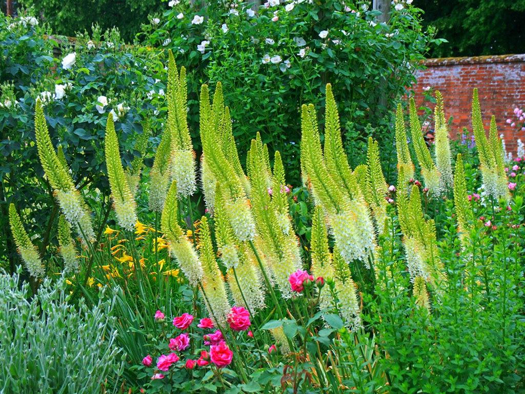Эремурус в саду