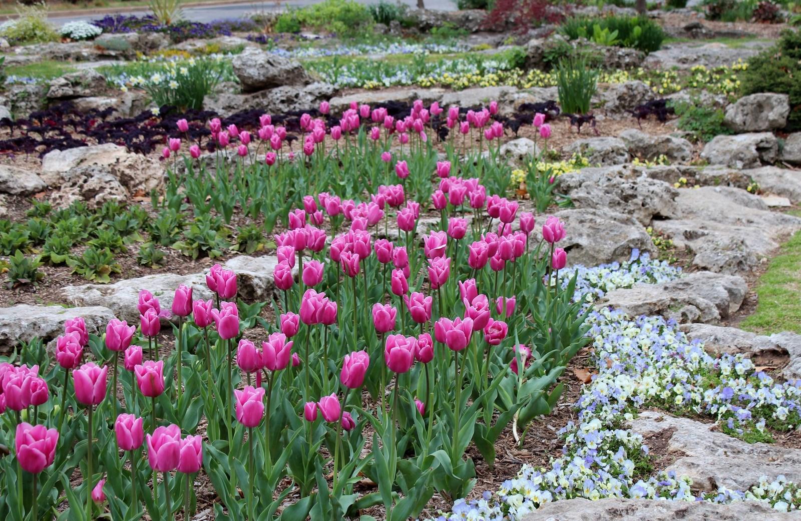 Рокарий с тюльпанами