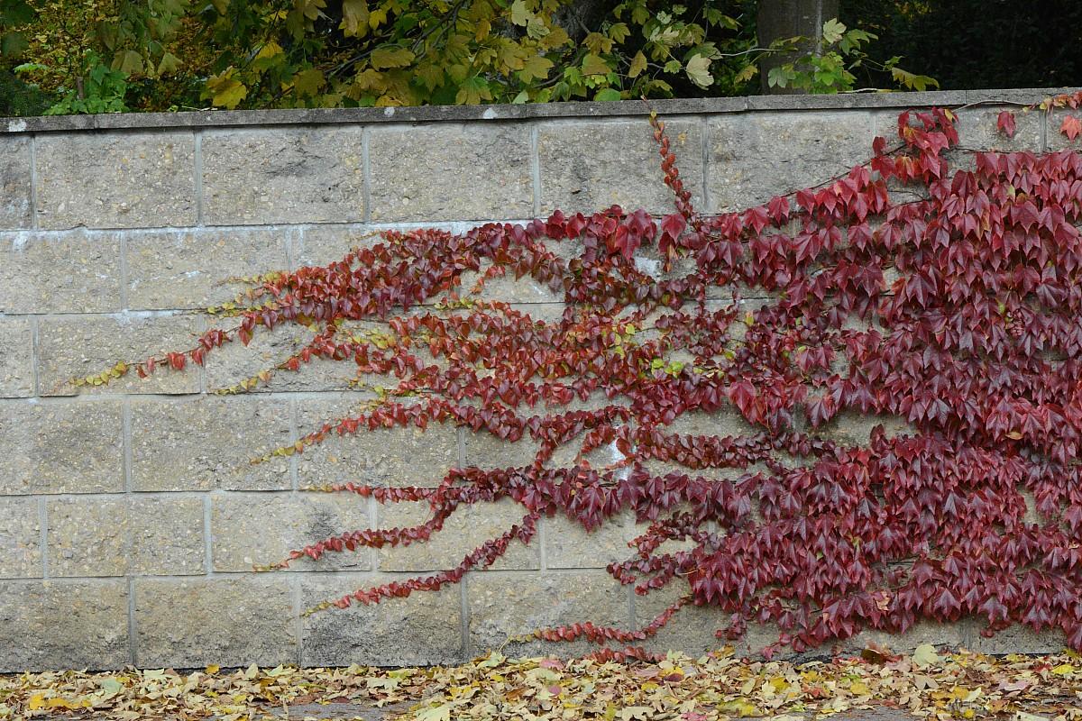 Девичий виноград многолетний для дачи