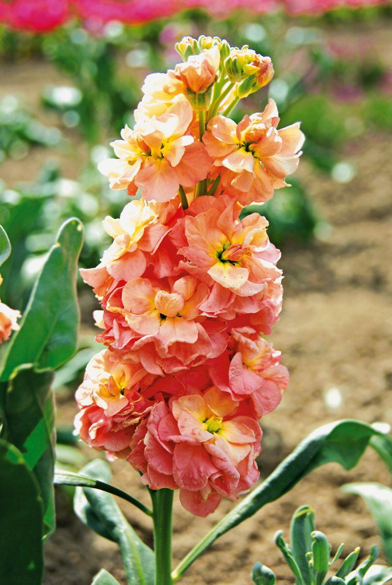 Выращивание маттиолы