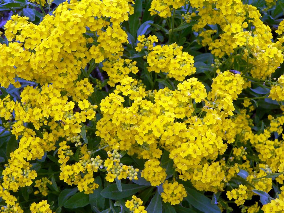 Лобулярия желтая